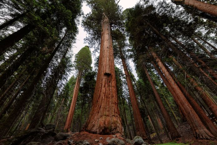 44112759 - giant sequoia forest in sequoia national park, california