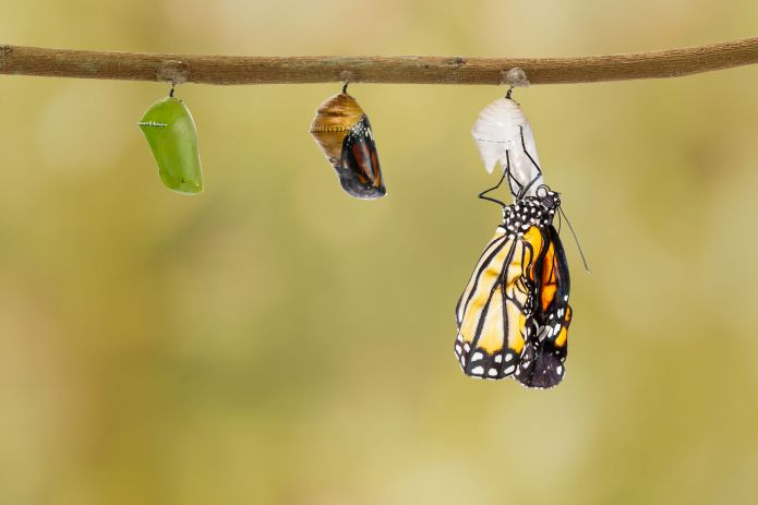 57576104 - common tiger butterfly emerging from pupa hanging on twig